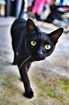 Black Cat Walking - Chiangrai,Thailand by TEOMONTANA Photographer