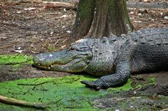 Alligator Photograph Photography by Aimee L Maher http://aimee-maher.artistwebsites.com/featured/alligator-aimee-l-maher.html
