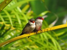 Manu: Common Waxbill friends on a palm frond in Keauhou.