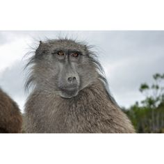 """""""Arin"""" and her troop joined our awareness program in December 2012 Baboon, Image Shows, Troops, December, Animals, Animales, Animaux, Animal Memes, Animal"""