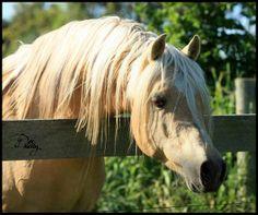 Palomino Arabian stallion