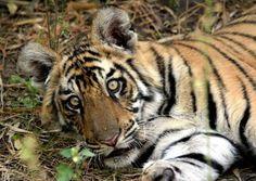India Safari, India Wildlife Holiday, India Wildlife Tour, Tiger Safari | Wildlife Trails