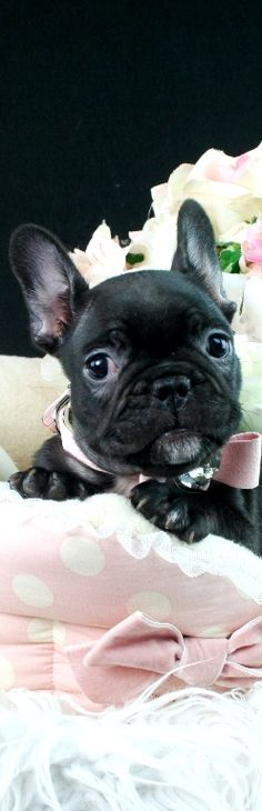 French Bulldog Puppy | House of Beccaria ♕BOUTIQUE CHIC♕~ Cutie Pie