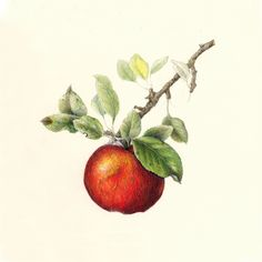 Drawing in Color: Apple~Malus by Wendy Hollender