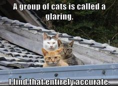 A group of cats is called a glaring. I find that entirely accurate.