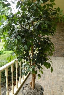 Thanks Aunt Nubby's Kitchen!  My Ficus tree had years of dust on them and now it is clean and I can breathe easier!