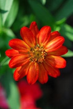 blooms-and-shrooms: Loved the colors of this Zinnia by fazer53 on Flickr.