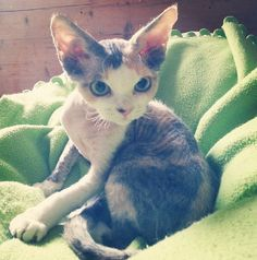A Devon Rex kitten, which is wishful thinking because Ryley isn't ready for a pet and also because they are very expensive, but I really want one. :0)