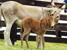 Zedonk-Baby geboren - eine Mischung zwischen Zebra und Esel