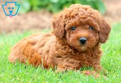 Isabella & Poodle & Toy Puppy For Sale & Keystone Puppies Source by keystonepuppie The post Isabella Toy Poodles For Sale, Cute Puppies For Sale, Cute Baby Puppies, Poodle Puppies For Sale, Pets For Sale, Red Poodles, Bulldog Breeds, Dog Hotel, Most Popular Dog Breeds