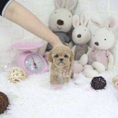 Teacup Puppy Breeds, Teacup Poodle Puppies, Mini Poodle Puppy, Miniature Puppies, Tea Cup Poodle, Micro Teacup Poodle, Teacup Poodles For Sale, Toy Poodles For Sale, Poodle Puppies For Sale