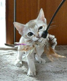 Meet Shaquille. He's a Singapura, one of the smallest breeds of cat. (Hence the name) - Imgur