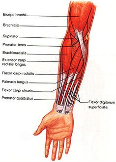 Muscles of the Forearm - Isaiah's Anatomy Website Forearm Muscle Anatomy, Human Muscle Anatomy, Forearm Muscles, Human Anatomy And Physiology, Body Anatomy, Upper Limb Anatomy, Physical Therapy School, Medical Anatomy, Nursing Tips