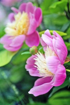 Peony blooms resplendent on a late Spring day (photo: Dave Melnychuk)
