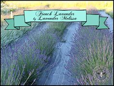 French dried lavender by Lavender Melissa on the blog today alongtheleftbank.com
