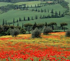 Tuscany Italy - Zigzag and Poppies, La Foce