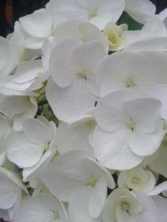 Blanca flor de hortensia.