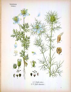 Köhler's Medizinal Pflanzen (1887)