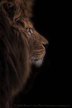 """""""Atlas Burdened No More"""" by Ashley Vincent~  Quoted from Ashley Vincent ~  """"The Barbary Lion (aka the Atlas Lion), a sub-specie of lion now regrettably extinct in the wild.....so beautiful"""