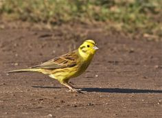 Norfolk Wildlife Trust - Gallery. Yellowhammer at Choseley Barns on 19/02/2012. Contributed by: Alex McLennan.