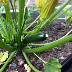 It's easy to grow lots of zucchini! This delicious vegetable, also called courgette or summer squash, grows quickly and will give you an abundant harvest. Here's everything you need to know to grow all types of zucchini in your garden. Types Of Zucchini, Growing Zucchini, Zucchini Plants, Growing Courgettes, Container Gardening Vegetables, Planting Vegetables, Growing Vegetables, Veggies, Vegetable Gardening