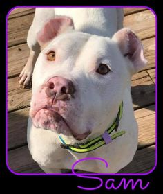 Meet Sam, an adoptable American Bulldog looking for a forever home. If you're looking for a new pet to adopt or want information on how to get involved with adoptable pets, Petfinder.com is a great resource.