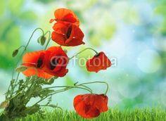 Poppy, Flower, Red.