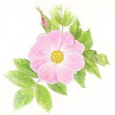 wild roses - Google Search