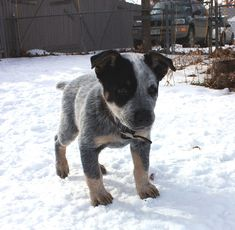 my friend just got a Blue Heeler and now I'm obsessed with the breed! I just wish they were small dogs!