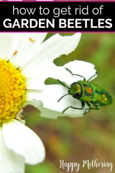 Beetles can decimate a garden quick. Learn how to get rid of beetles for good with companion planting. Up your gardening knowledge and learn about 6 common plants that will deter these destructive insects from your food crop.#gardening #gardeningtips #gardener #sustainableliving #pestcontrol #beetles #garden #backyardgarden #growyourown #howto #diy #greenliving #companionplanting #companionplants #deterbeetles #insects #gardenhacks Garden Design Ideas On A Budget, Garden Design Plans, Growing Gardens, Kew Gardens, Cabbage Plant, Chicago Botanic Garden, Dogwood Trees, Meteor Garden 2018