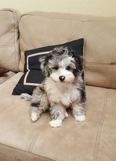 Koi the merle party poodle 3 1/2 months xoxo!