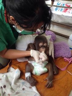 The plight of an emaciated, possibly crippled baby orangutan has brought worldwide attention this week to the cruel practices that resulted in the endangered ape spending the first 10 months of his life in a chicken cage in Borneo. Baby Orangutan, Chimpanzee, Baby Animals, Cute Animals, Cute Monkey, Tiny Monkey, Chicken Cages, Primates, Borneo