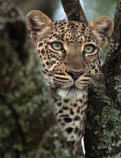 This gorgeous leopard looks wide awake and ready to pounce!