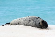 Save the Hawaiian Monk Seal