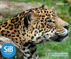 El Jaguar (Panthera Onca) es una especie en estado vulnerable. Habita en los 84,210 km² de territorio protegido en el país. Conoce más de este animal en nuestro catálogo de especies: http://www.biodiversidad.co/fichas/338