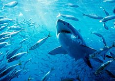 Great White Shark! My favorite when I was younger, my favorite now and probably will always be. :)