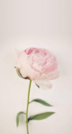Peon - en helt spesiell blomst for en helt spesiell dag:p