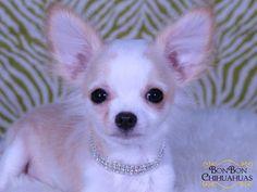tiny longcoat chihuahua puppy