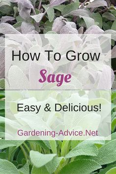 Every serious herb gardener needs a Sage Plant: it is delicious and pretty! Growing Sage herb is not difficult.  Grow a bush in a container or in your garden and enjoy these yummy leaves!