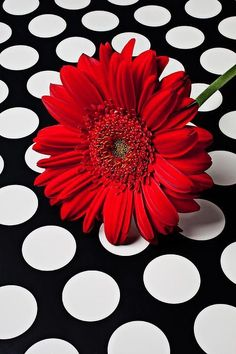 Red Daisy on Polka Dot Gerbera Flower Wallpaper, Iphone Wallpaper, Nature Wallpaper, Wallpaper Backgrounds, Red Wallpaper, Mobile Wallpaper, I See Red, Bulletins, Simply Red