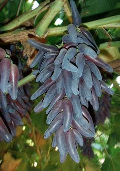 Purple Witch Fingers Grapes on the vine - The elongated berry is a characteristic that originated in the University of Arkansas grape-breeding program. (U of A Division of Agriculture photo courtesy John Clark.)