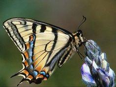 farfalle - Pesquisa Google