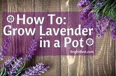 to Grow Lavender in a Pot From potting to picking, here's your 5 step guide to growing lavender.From potting to picking, here's your 5 step guide to growing lavender.