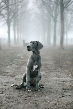 this is a Weimaraner this is the best dog i have ever owned they are grey and their eyes are blue the most beautiful & smartest dog ever!