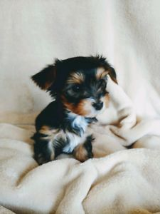 Kijiji - Buy, Sell & Save with Canada's Local Classifieds Yorkshire Puppies, Humane Society, Yorkie, Dogs And Puppies, Adoption, Pets, Animals, Foster Care Adoption, Yorkies