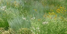 DBG-Chatfield-Arboretum-meadow-planting-with-Bouteloua-Blonde-Ambition-blog