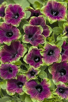 Supertunia® Picasso in Burgundy™ - Petunia hybrid