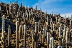 Photos of different habitats and species of cactus of the Atacama Desert. Includes coastal desert of Taltal and cacti of the interior mountains of Chile.
