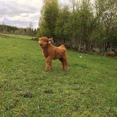 i would like this cow Cute Creatures, Beautiful Creatures, Animals Beautiful, Cute Baby Animals, Farm Animals, Animals And Pets, Wild Animals, Fluffy Cows, Baby Cows