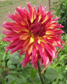 Vista Minnie Dahlia